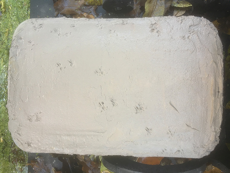 Brown rat prints